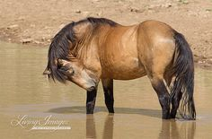 In the Water, the wild stallion Chino Wild Horse Fine Art Photograph by Carol Walker www.LivingImagesCJW.com