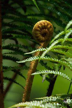 haupu fern (cute baby fern swirls)