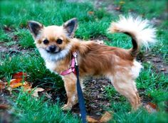 4 / 25    Petango.com – Meet Gizmo, a 1 year 6 months Chihuahua, Long Coat / Mix available for adoption in FRANKLIN, IN Contact Information Address  5610 E 100 N, FRANKLIN, IN, 46131  Phone  (317) 440-4807  Website  http://www.petelves.com  Email  jessica@petelves.com