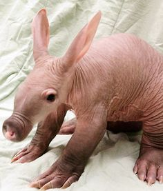 A wrinkly but adorable baby aardvark has everyone at the Detroit Zoo smitten. - Detroit Zoo/facebook