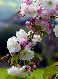 Apricot Blossom, Cherry Blossom, Birds And Their Nests, Belleza Natural, Great View, Dream Garden, Life Is Beautiful, Spring Flowers, Spring Time