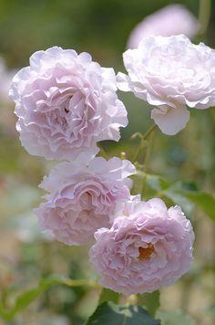 Hybrid Tea Rose: Rosa 'New Wave' (Japan, 2000)