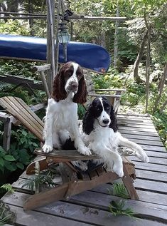 Springer Spaniel Puppies, English Springer Spaniel, Cocker Spaniel, Black Lab Puppies, Dogs And Puppies, Corgi Puppies, Maremma Sheepdog, Dog Grooming Business, Dogs Of The World