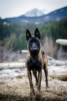 Belgian Malinois. just saw this picture and it reminded me of fox so much