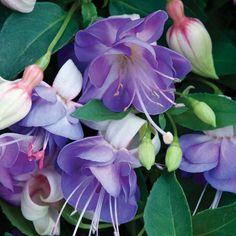 Фото цветов Фуксии