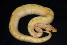 For Sale Banana Stingerbee ph Clown Ball Python - FaunaClassifieds
