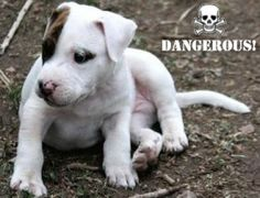 Maryland Labels All Pit Bulls 'Inherently Dangerous' This breaks my heart. :(