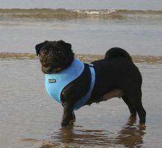 Puppia Blue harness at www.ilovepugs.co.uk  sizes xs-xxl