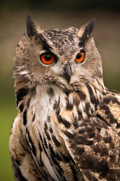Eagle Owl by Andreas Saatze on 500px