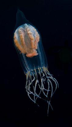 Jelly drifter by Mike Bartick Pelagic drifter