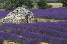 #Lavande - http://www.provenceguide.com/sites-naturels/lavande-38-1.html #Lavender - http://www.provenceguide.co.uk/explore/lavender-38-1.html #Lavendel - http://www.provence-tourismus.de/entdecken/lavendel-27-1.html ©Alain Hocquel