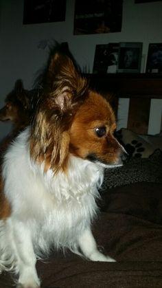Papillon dog . Daisy at 2
