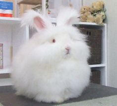Angora rabbit AWWW I WANT ONE