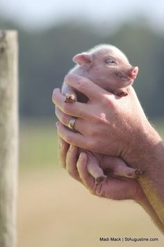 Tiny piglet is little more than a handful.