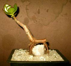 CRASSULA - as bonsai over a rock - Root a cutting in a small pot / Only like… Bonsai Garden, Succulents Garden, Thick Fat, Jade Bonsai, Bonsai Styles, Mini Bonsai, Crassula Ovata, Foam Cups, Jade Plants
