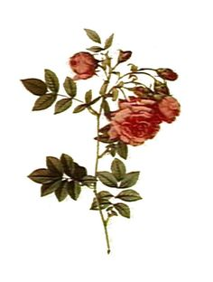 This highly scented and effective rose oil is a must have item in your household. Our DIY rose infused oil goes a little bit further with ultra rich grape seed oil and petals from Rose Damascena. Uses For Rose Water, Uses Of Rose, Rose Oil For Skin, Oils For Skin, How To Make Rose, Organic Roses, Rose Essential Oil, Infused Oils, Pure Oils