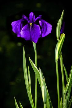 Stop and look, please- 'Purple Perfection - Japanese Iris - Painting' - http://fineartamerica.com/featured/purple-perfection-japanese-iris-painting-penny-lisowski.html via @fineartamerica