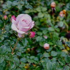 munich | germany | münchen | deutschland | untergiesing | rose im rosengarten an der isar