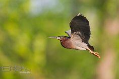 Green Heron - Malden Park