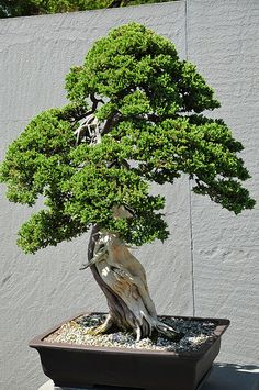 National Bonsai and Penjing Museum ~ National Arboretum, Washington,DC