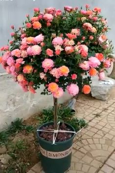 Learn about the dream rose pots ideas. Love the gardening of flowers. 😍