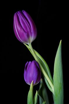 Spring Tulips The post Spring Tulips appeared first on Moja strona. Purple Tulips, Tulips Flowers, All Flowers, Flowers Nature, Exotic Flowers, My Flower, Flower Art, Flower Power, Planting Flowers