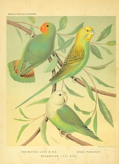 """A lovely, print-worthy illustration of a love bird, parakeet and Madagascar love bird. From the book,  """"The illustrated book of canaries and cage-birds 1898."""""""