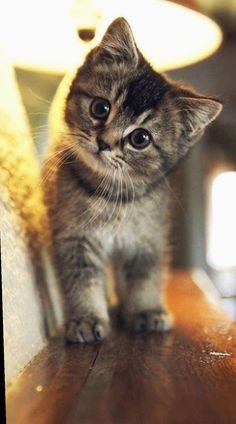 Cutest kitten cute cat wallpaper, animal wallpaper, iphone wallpaper, cute cats and kittens Cute Little Kittens, Cute Baby Cats, Cute Funny Animals, Cute Baby Animals, Funny Cats, Cute Dogs, Cute Kitty, Super Cute Kittens, Cutest Kittens Ever