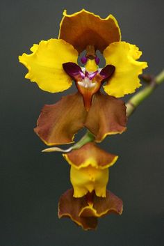 Religious Magic And Spiritual Ability Element One Orchid Rare Orchids, Rare Flowers, Flowers Nature, Exotic Flowers, Tropical Flowers, Amazing Flowers, Yellow Orchid, Orchidaceae, Orchid Plants