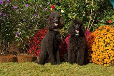Standard-Poodles-