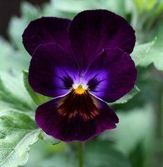 Deep Purple Viola Flower
