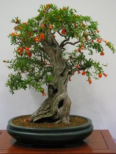 The Pomegranate Bonsai Tree is very popular as a bonsai. It is a deciduous tree and drops most or all of its leaves in the winter, but does not produce bright, autumn colors. It has striking flowers that bear fruit and a thick trunk with attractive bark. The trunk has a natural twist that gives a gnarled and ancient appearance which is very appreciated in bonsai. The Pomegranate reached Japan through the silk route and has been admired as a bonsai tree for centuries.
