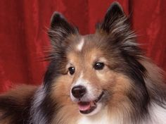 Shelties are just the best. So Sweet. They love little girls. Perfect little pet.