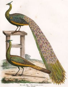 Hand-Colored Peacock, C. 1830