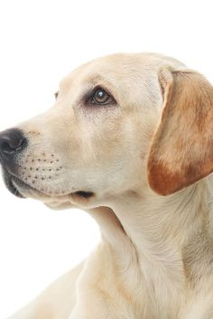 Why do so many people like Labrador ? by L&G PET Many people now keep a Labrador when choosing a companion dog. Even parents wi. Labrador Retrievers, Golden Retrievers, Black Labrador Retriever, Dogs Golden Retriever, Bull Terriers, Schwarzer Labrador Retriever, Brown Labrador, Cute Dogs Breeds, Love Dogs
