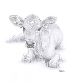 COW Calf Limited Edition Art Drawing Print By ArcadiaPortraits