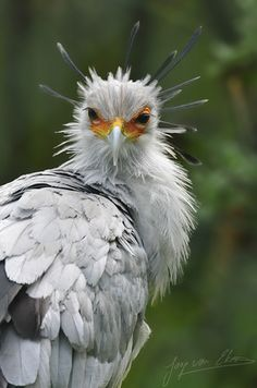 Secretary bird. Kills it's prey by stomping on the ground to draw them out, then proceeds to stomp on the prey.