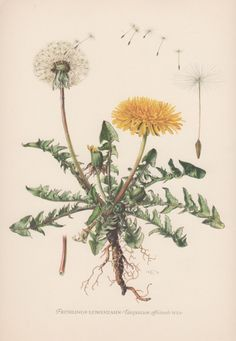 Vintage Botanical Print, Dandelion, Taraxacum officinale, Flora Illustration, 1950's Botany Print, Wildflower Lithograph, Medicinal Plants