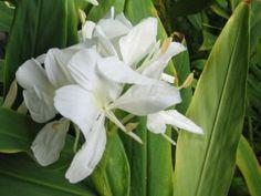 mariposa blanca flor nacional cubana.