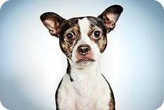 Pictures of Olivier a Boston Terrier Mix for adoption in New York, NY who needs a loving home.