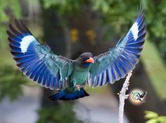 dollarbird        (photo via multiply.com)