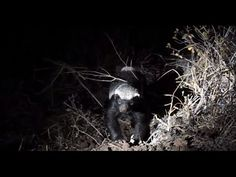 A notorious honey badger spotted while out on game drive with Umkumbe Safari Lodge. This curious critter was eagerly devouring its prey. Honey badgers are th. Honey Badger, African Safari, Bald Eagle, Traveling By Yourself, Wildlife, Photos, Animals, Image, Pictures