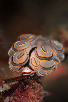 , a beautiful nudibranch : Doto sp., a beautiful nudibranch Underwater Creatures, Underwater Life, Ocean Creatures, Fauna Marina, Beautiful Sea Creatures, Life Under The Sea, Sea Snail, Sea Slug, Deep Sea