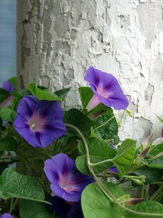 Morning Glories On Porch