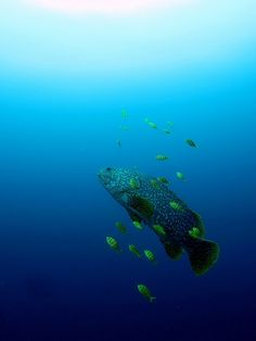 giant #grouper with golden #trevallies