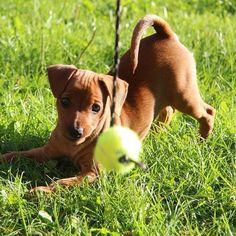 The most entertaining game there is! #lykke #valp #minpin #miniaturepinscher #dog #dvergpincher #hund #valp