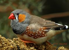 """This is another addition to my """"Birds of Bloedel Series."""" I caught this zebra finch relaxing on a bed of food. Every so often it would reach down for some food and contentedly observe me photographing birds. The photo was taken in January 2011, with my trusty Olympus digital camera. Enjoy."""