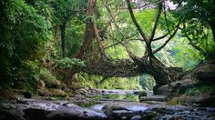 A living bridge in the East Khasi Hills district of Meghalaya, India (© Timothy Allen/Getty Images)