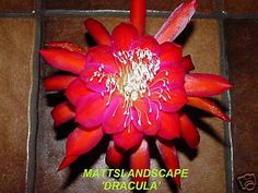 Epiphyllum hybrid 'Dracula'