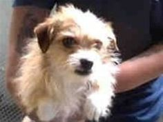 Benji bear is an adoptable Terrier Dog in Pleasanton, CA. Benji is housebroken, good with kids and other dogs. He is vaccinated, micro chipped, dewormed and neutered. Please email mcwhip@aol.com for m...